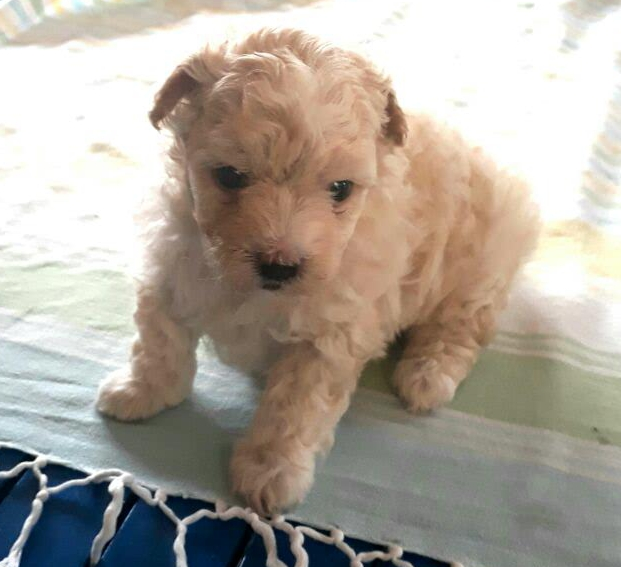 Purebred Maltese Puppies for Sales