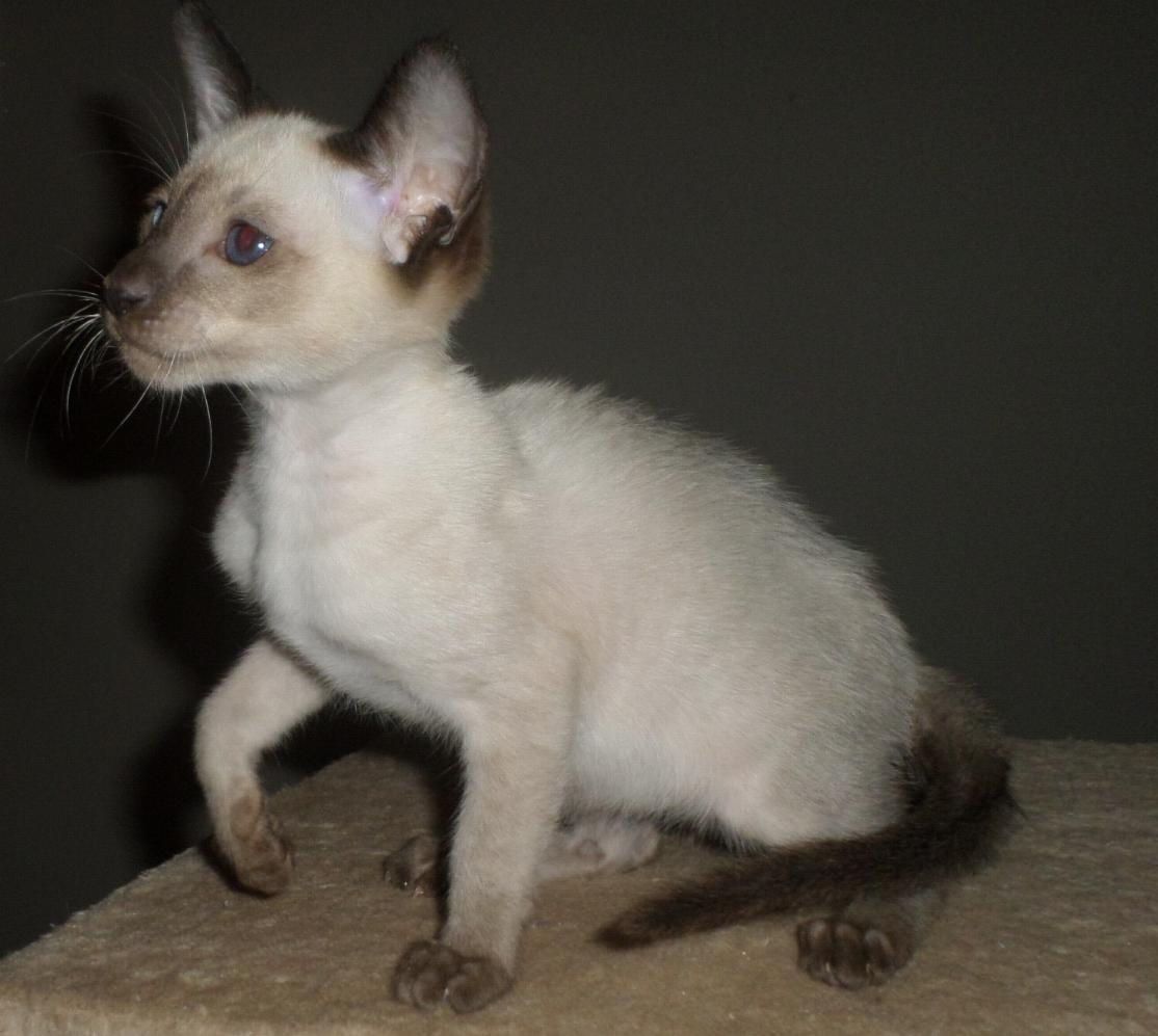 Registered Siamese Kittens