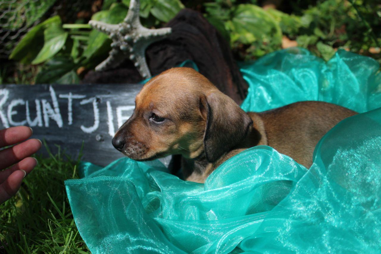 Miniature Dachshund puppies(worsies)