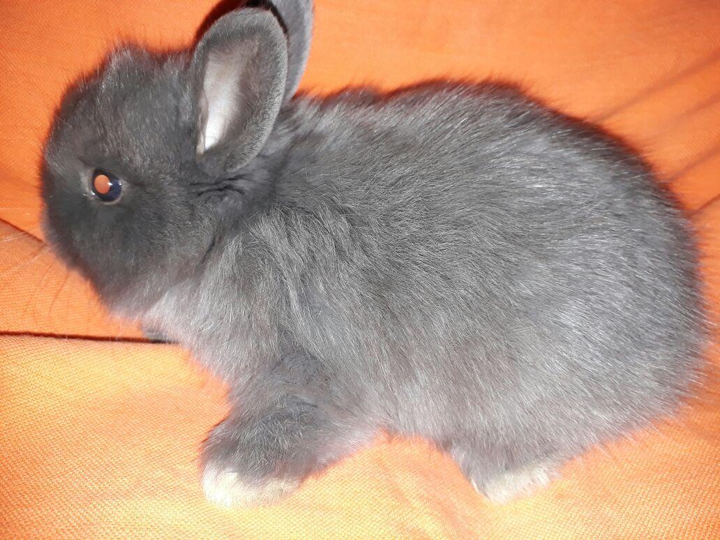 Dwarf Angora rabbits(Jersey Wooly)