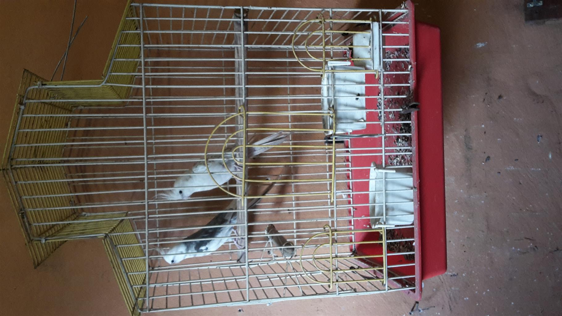 Breeding Pair (f) + (m) cockatiels with Cage