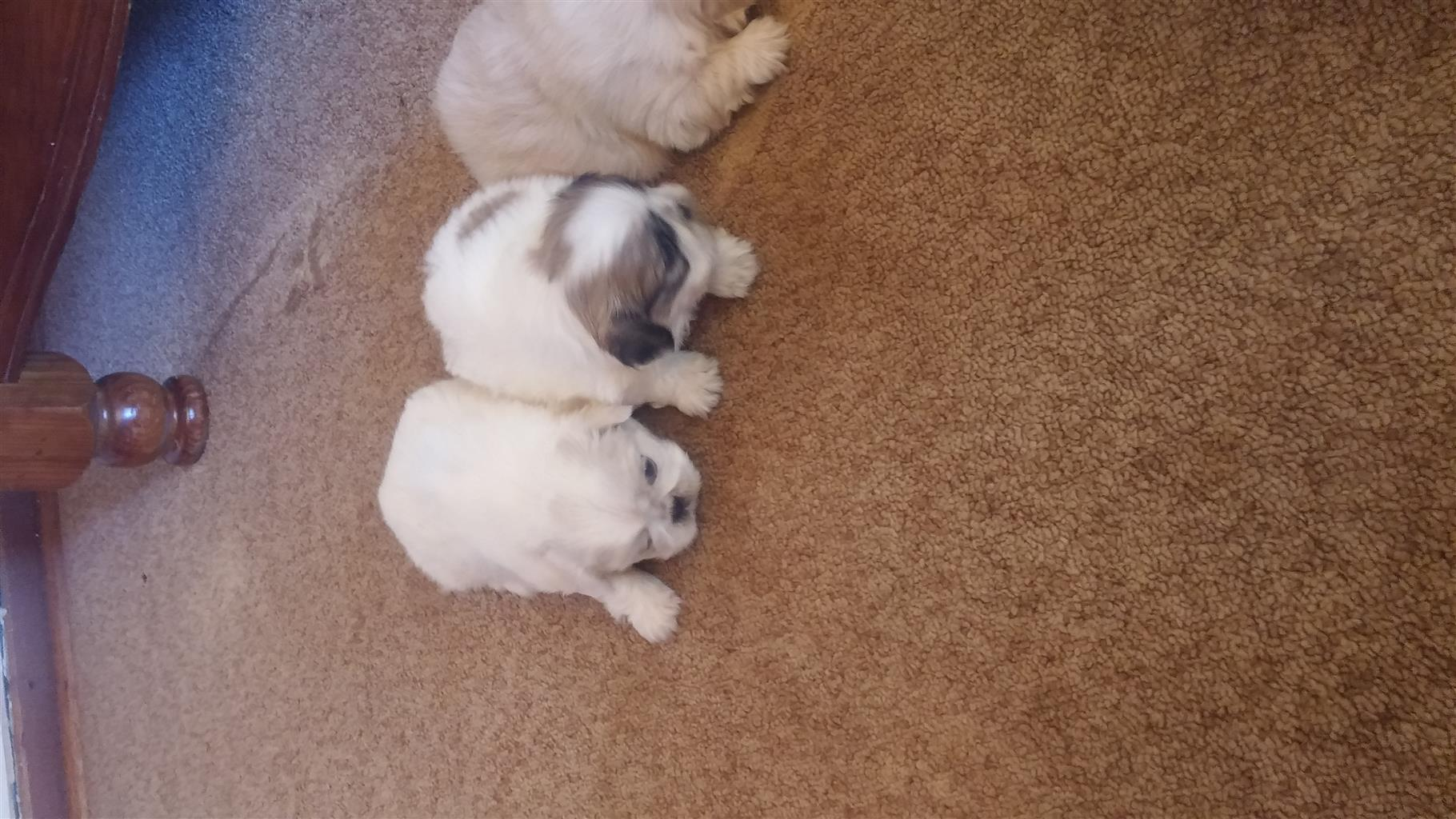 Peganese puppies for sale