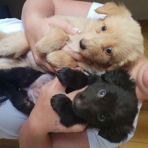 Golden and flat coat retriever pups