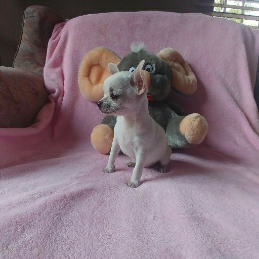 Chihuahua white female
