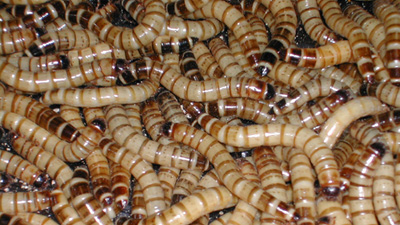 Large Super worms 100% Organic fed, R30 for 50 worms