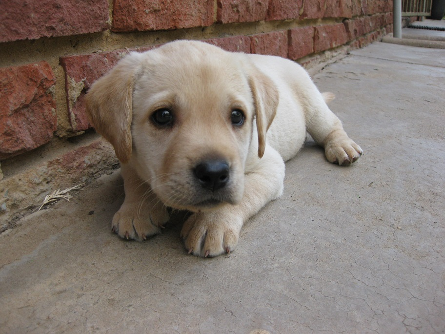 Gorgeous pure bred labrador puppies for sale