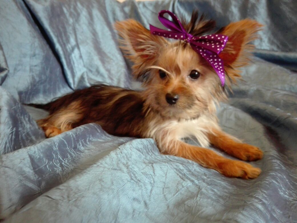 Yorkies (Yorkshire Terrier)