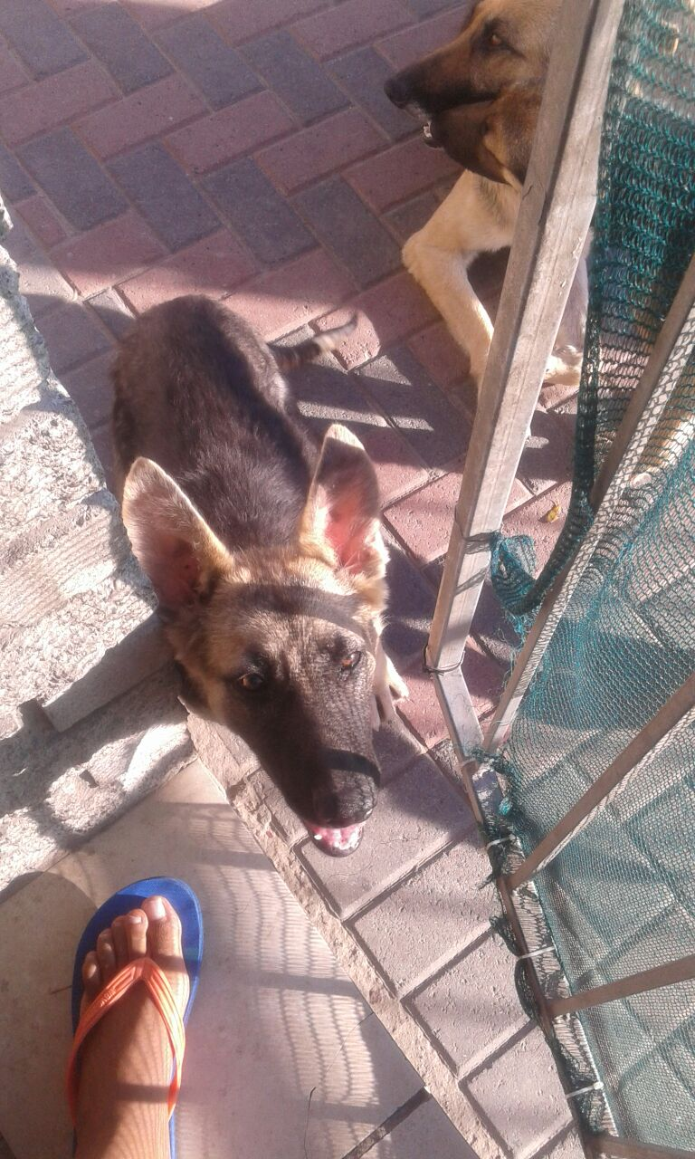 German shepard puppies for sale - 3 months old - 1 X Male nd 1 X Female - R1100