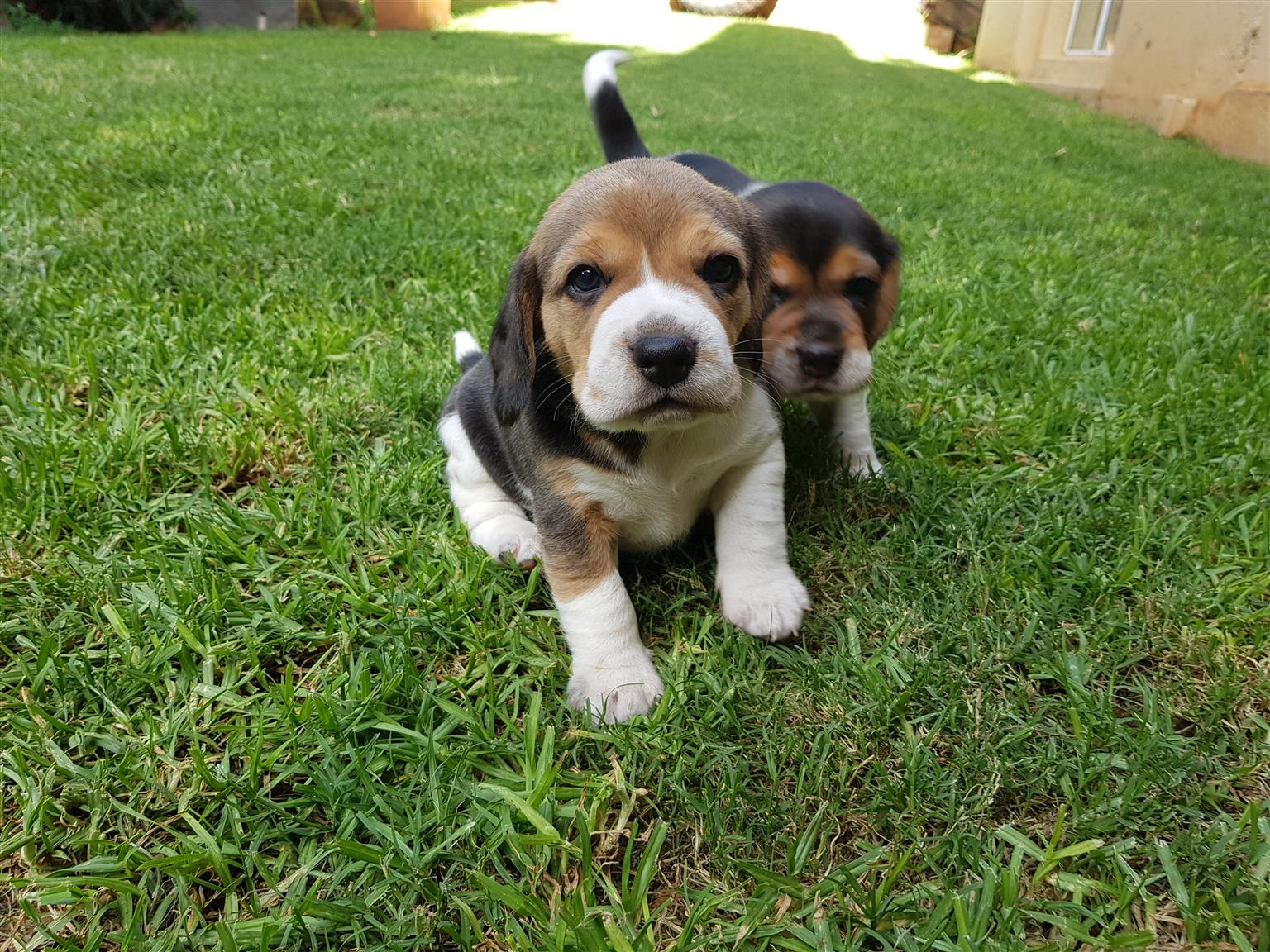 Female Tri-Colour Beagle Puppy