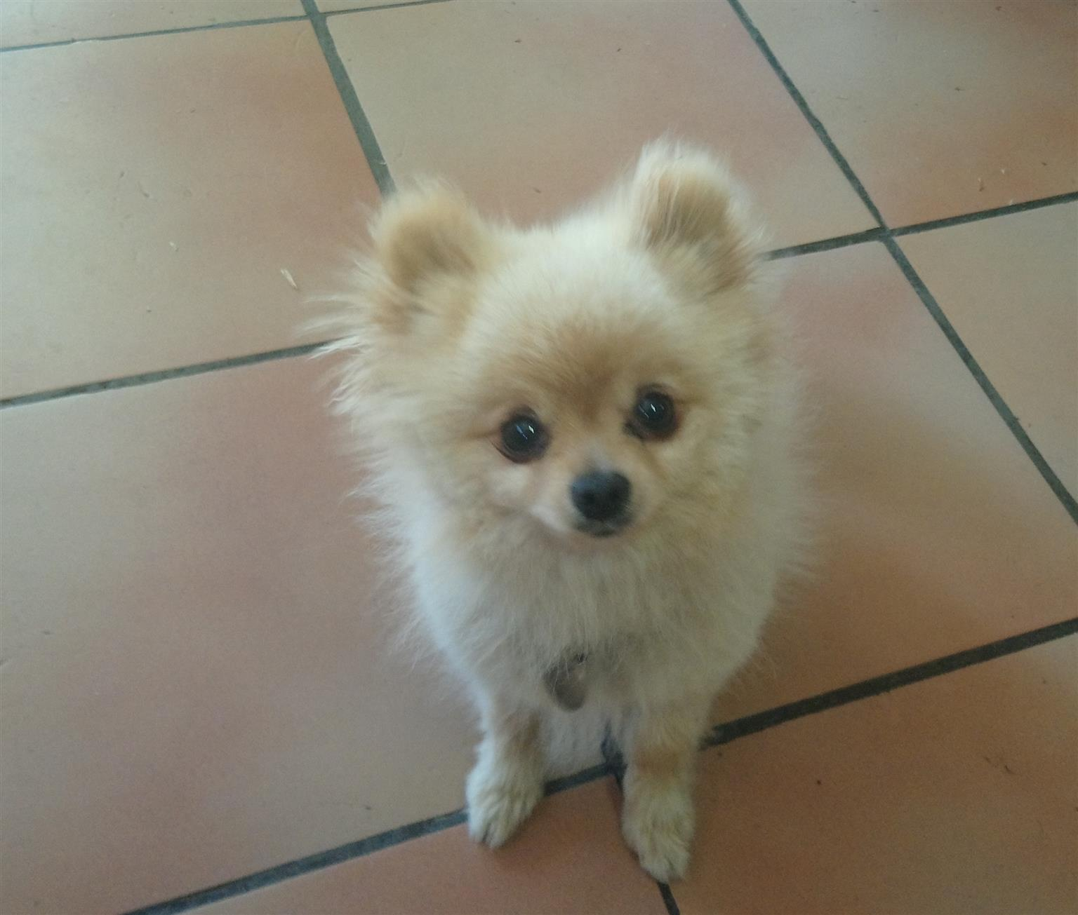 Toypom Adult male
