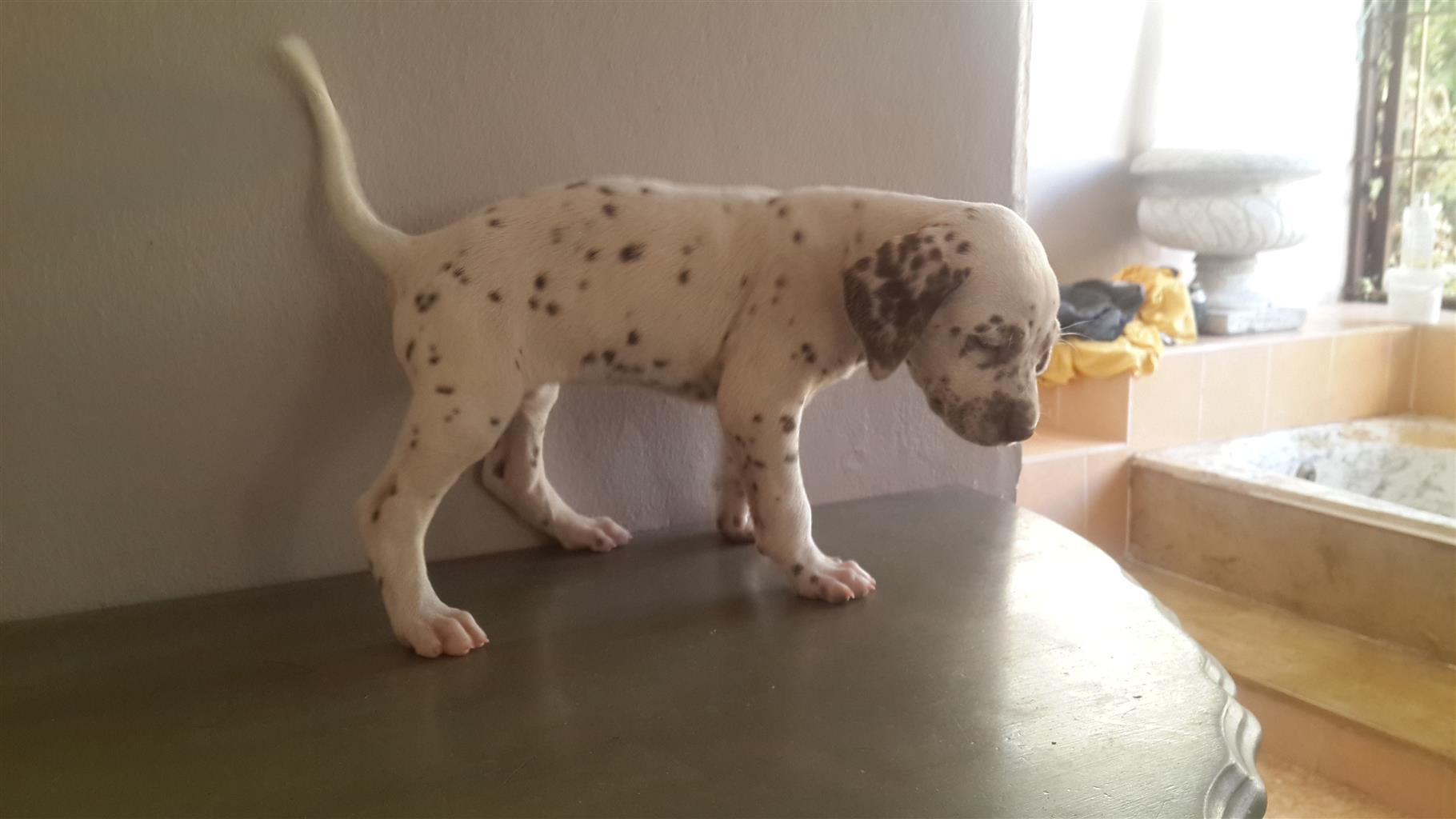 Liverspot Dalmatian Puppies