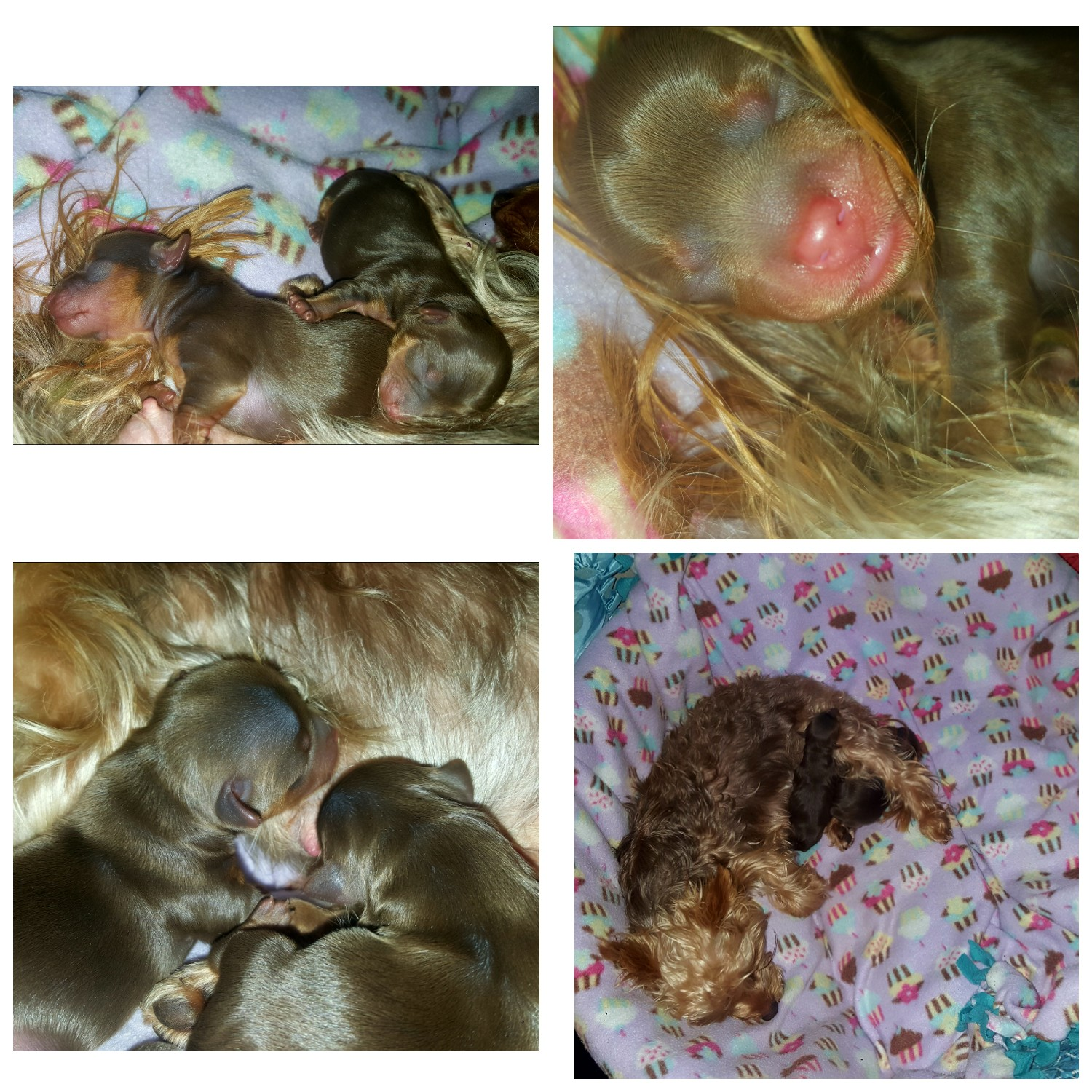 2 Miniauture Chocolate Yorkie Puppies for sale