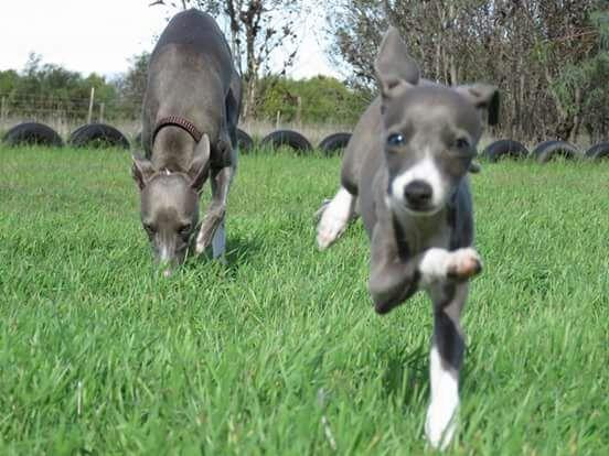 Miniature Italian Greyhound Puppies.