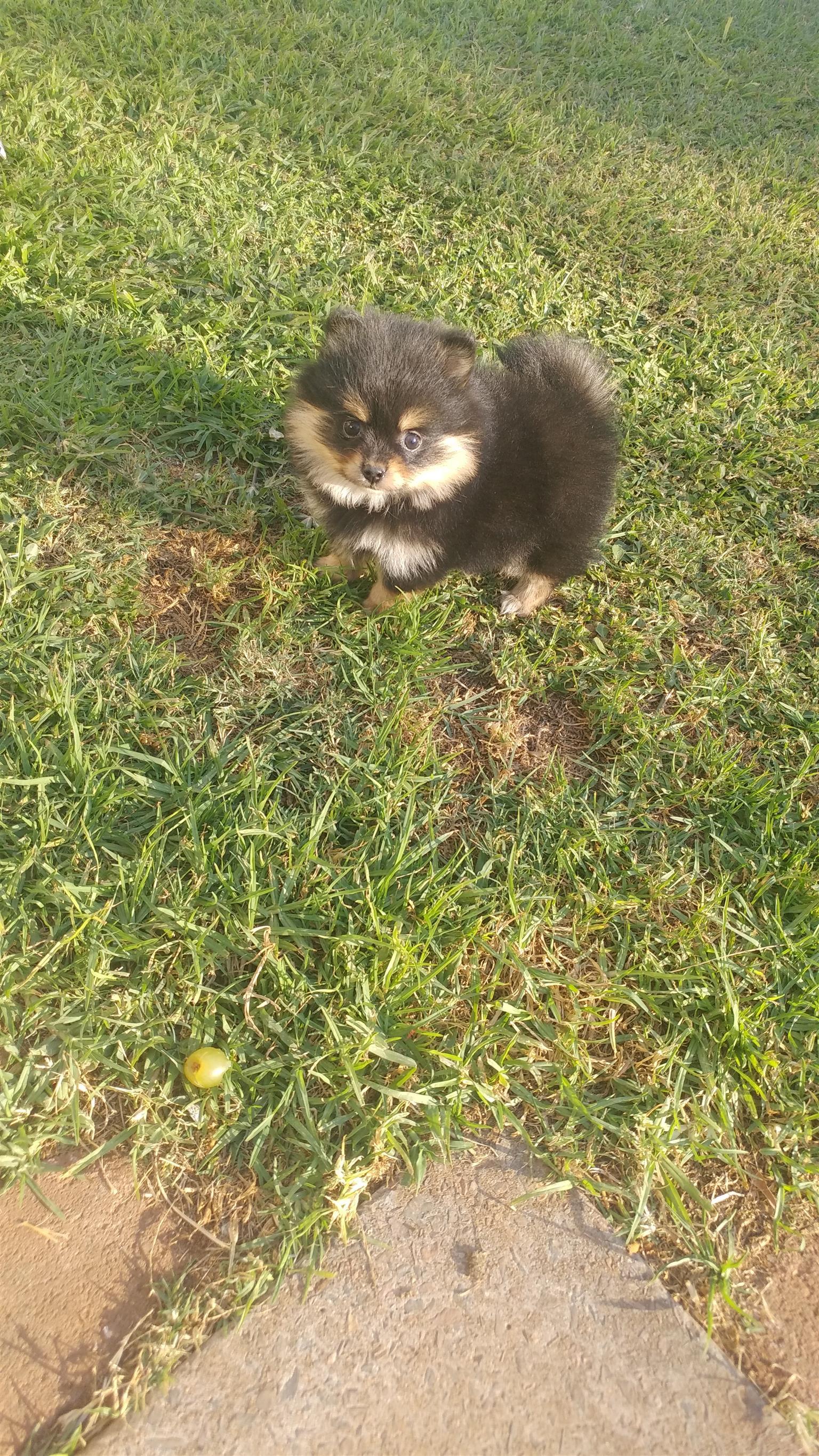 Pocket size toypom ( pomeranian puppies)