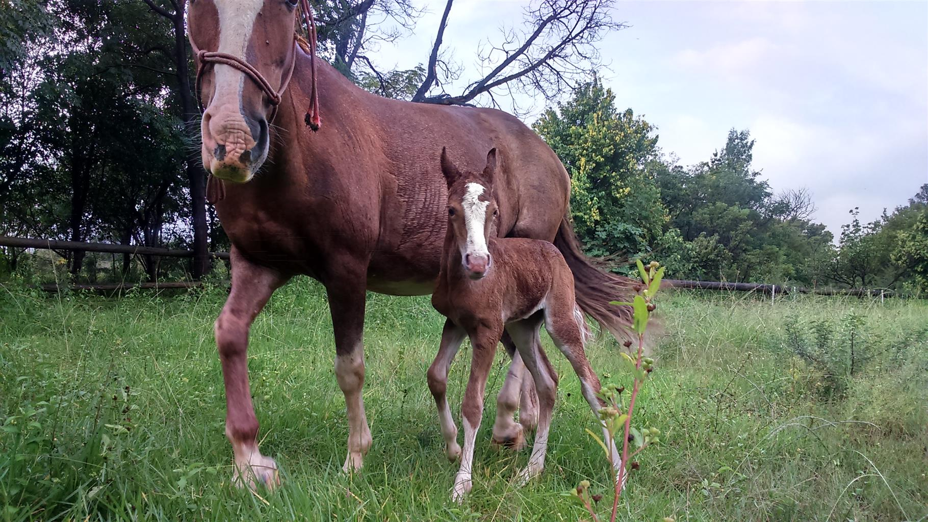 Bombproof Mare