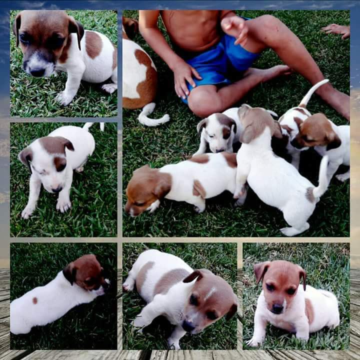 Jack Russel puppies for sale R350.00