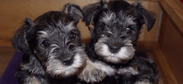 Miniature Schnauzer Puppies Available