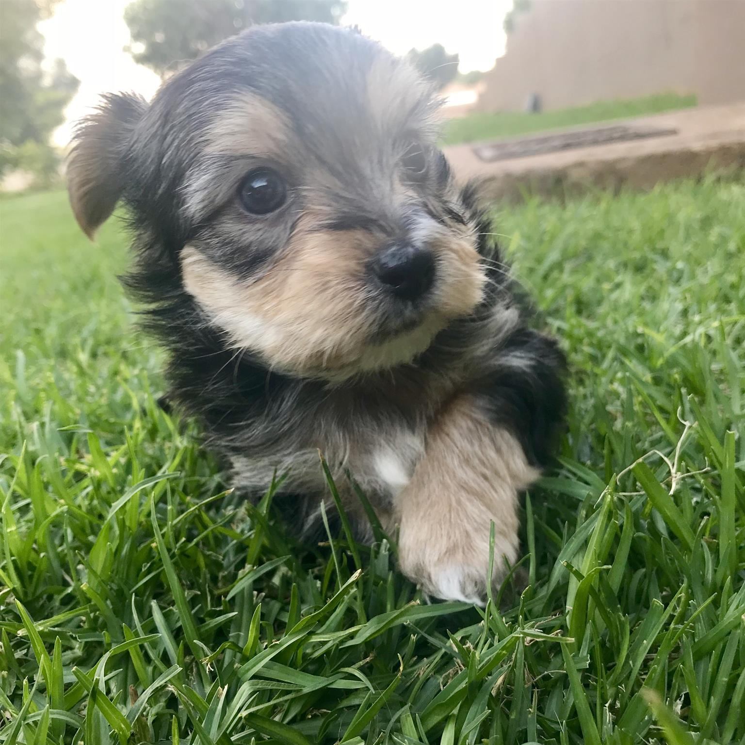 Morkie Puppies (Yorkie cross Maltese)