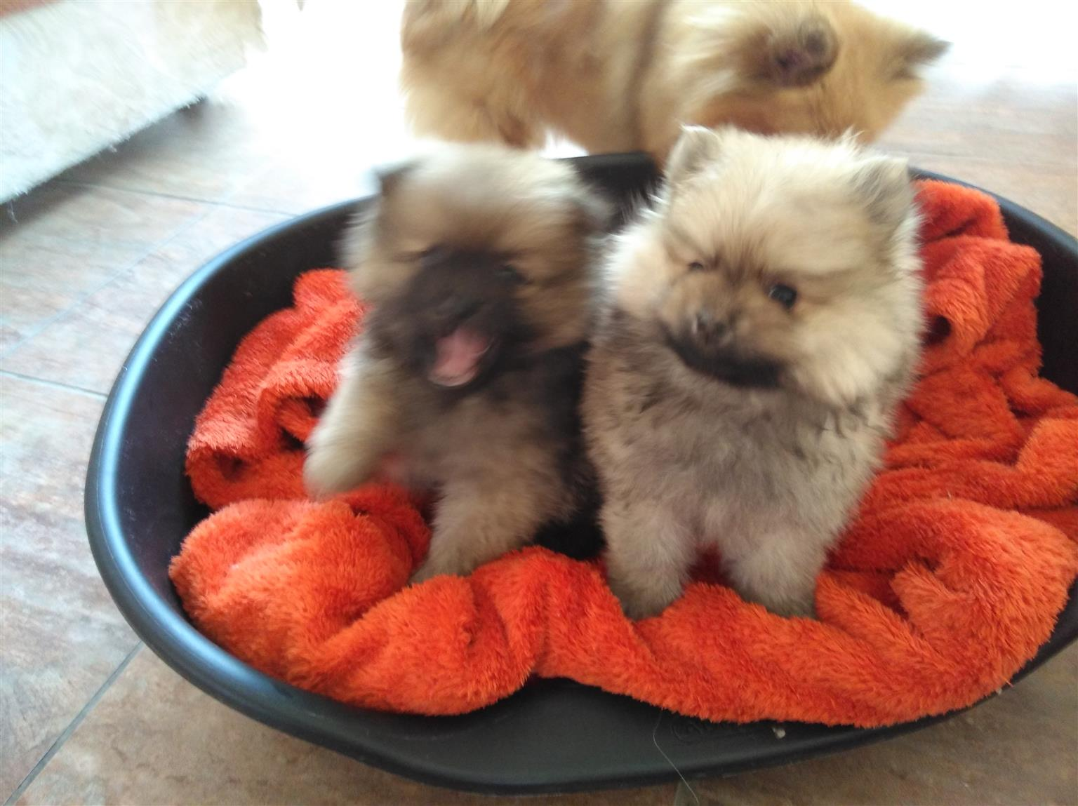 Lovely Purebred Pomeranion Puppies