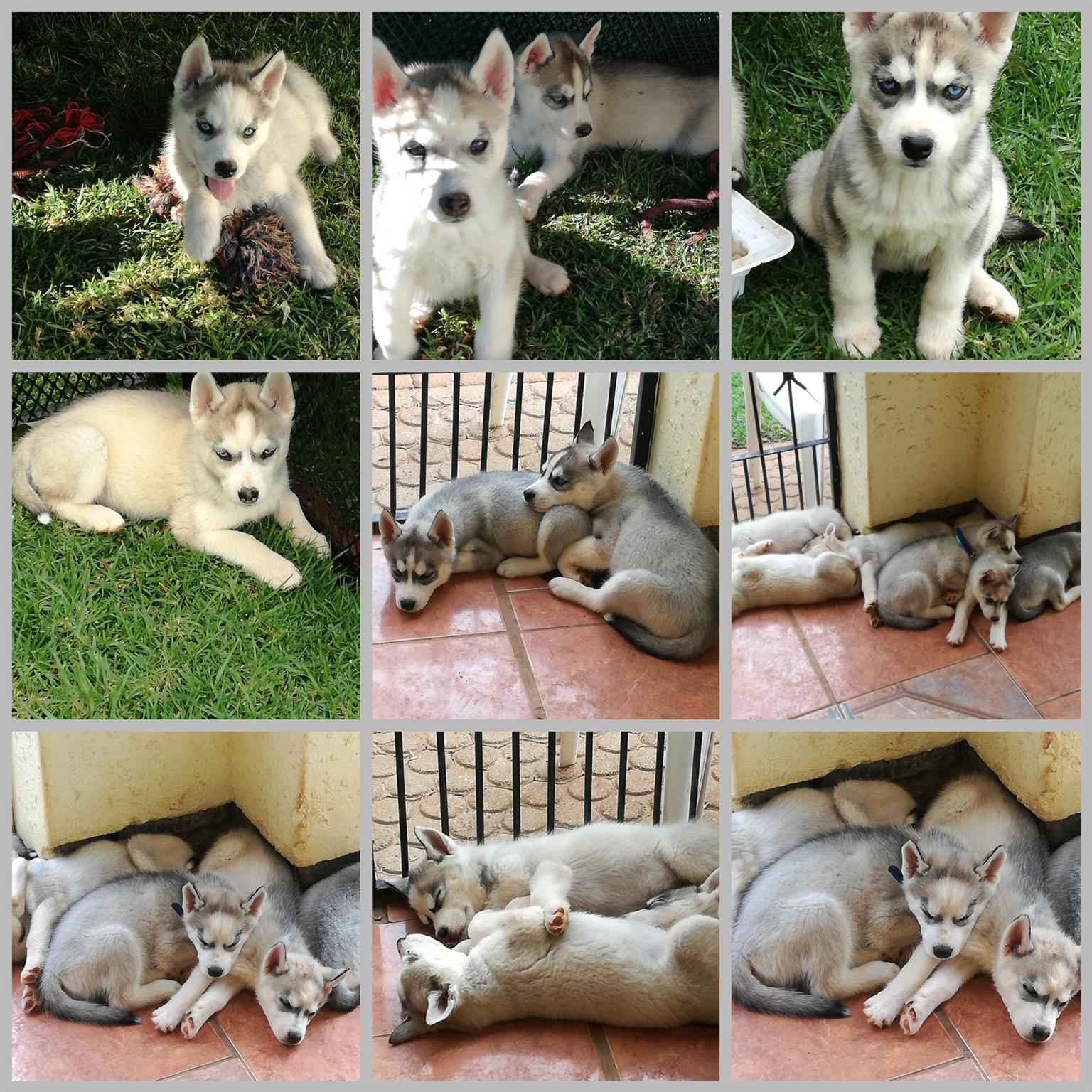 3x Siberian Husky puppies for sale  (Blue eyes)