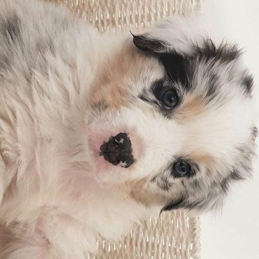 Australian Shepherd Puppies (Aussies)