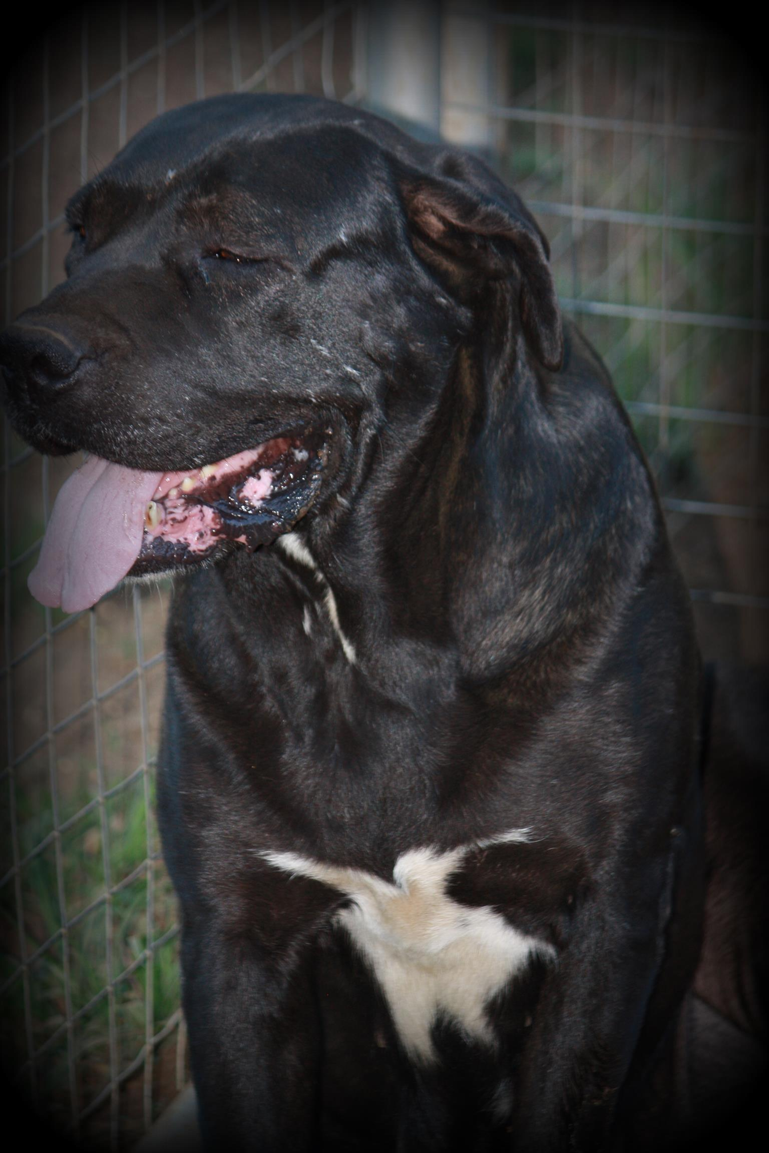 Beautiful male Neapolitan & Labrador cross pup