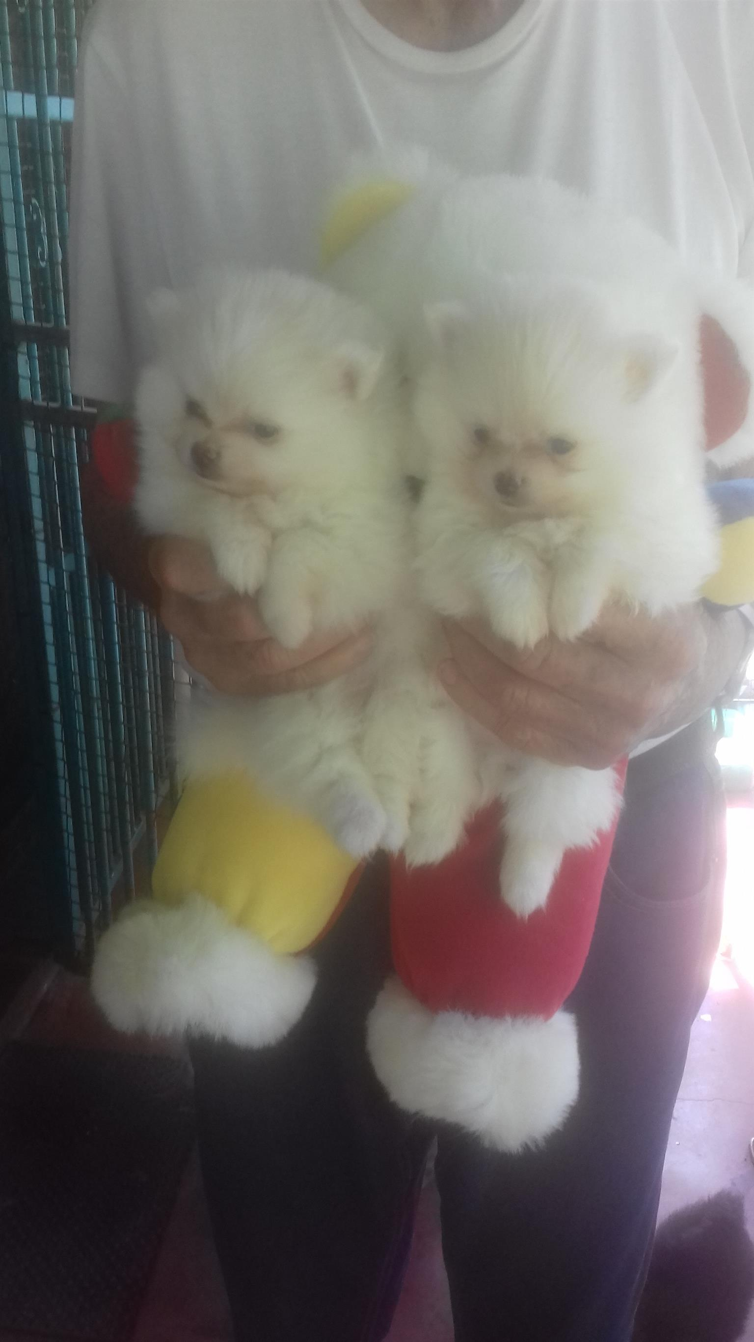TOY POM PUPPIES FOR SALE (MINIATURE)