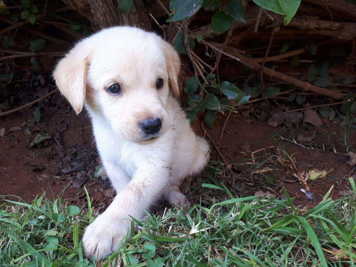 White Labrador puppie