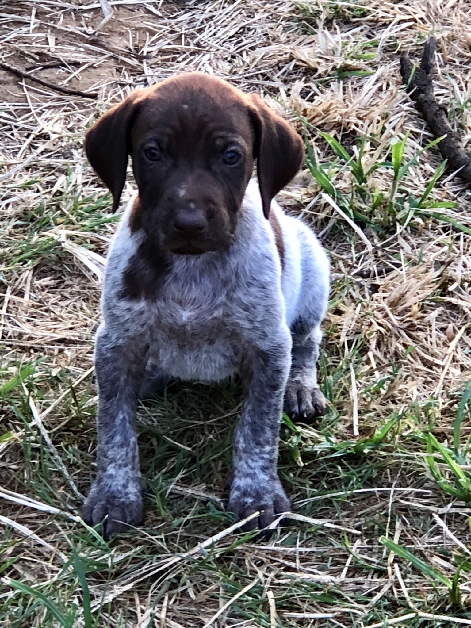German Shorthair Pointer puppies for sale