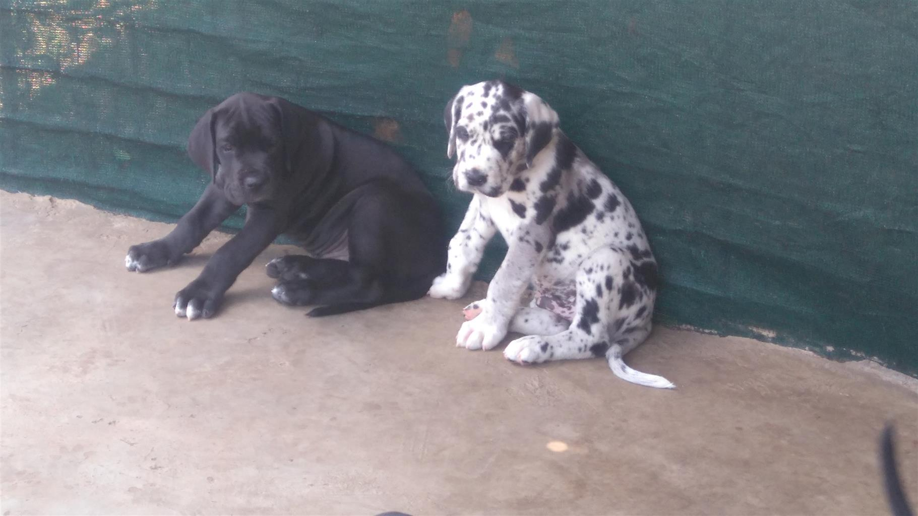 Great Dane puppies for sale.