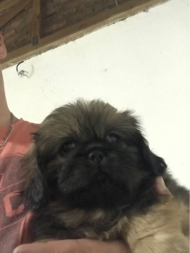 Pekingese puppies in need of a home