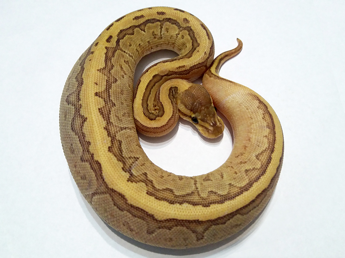 Fire Jigsaw Ball Python Female