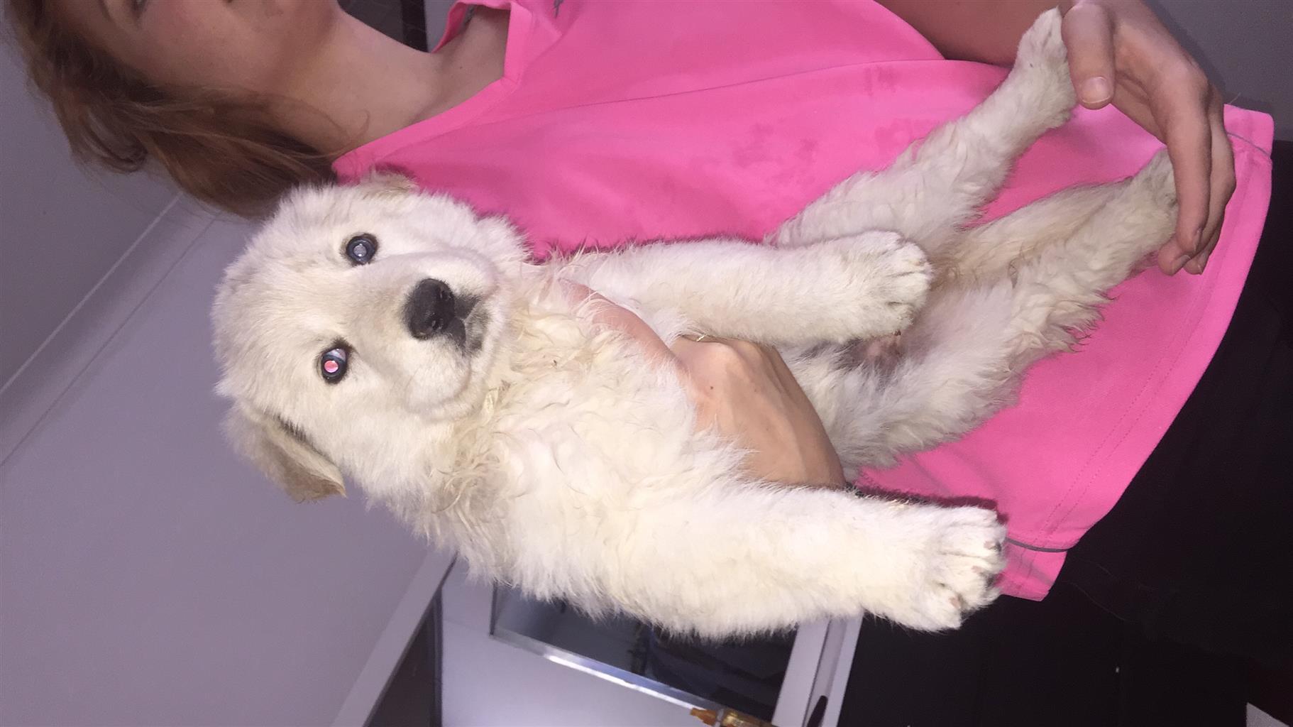 White Alsations Puppies