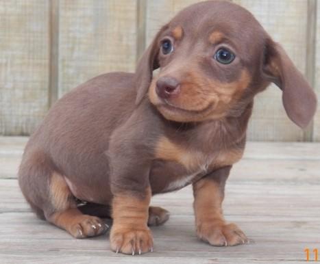Pre-spoiled Miniature Dachshund Puppies