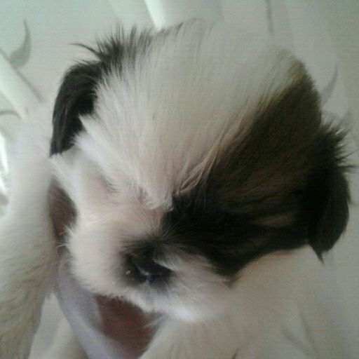 Pedigree Pekingese Pups
