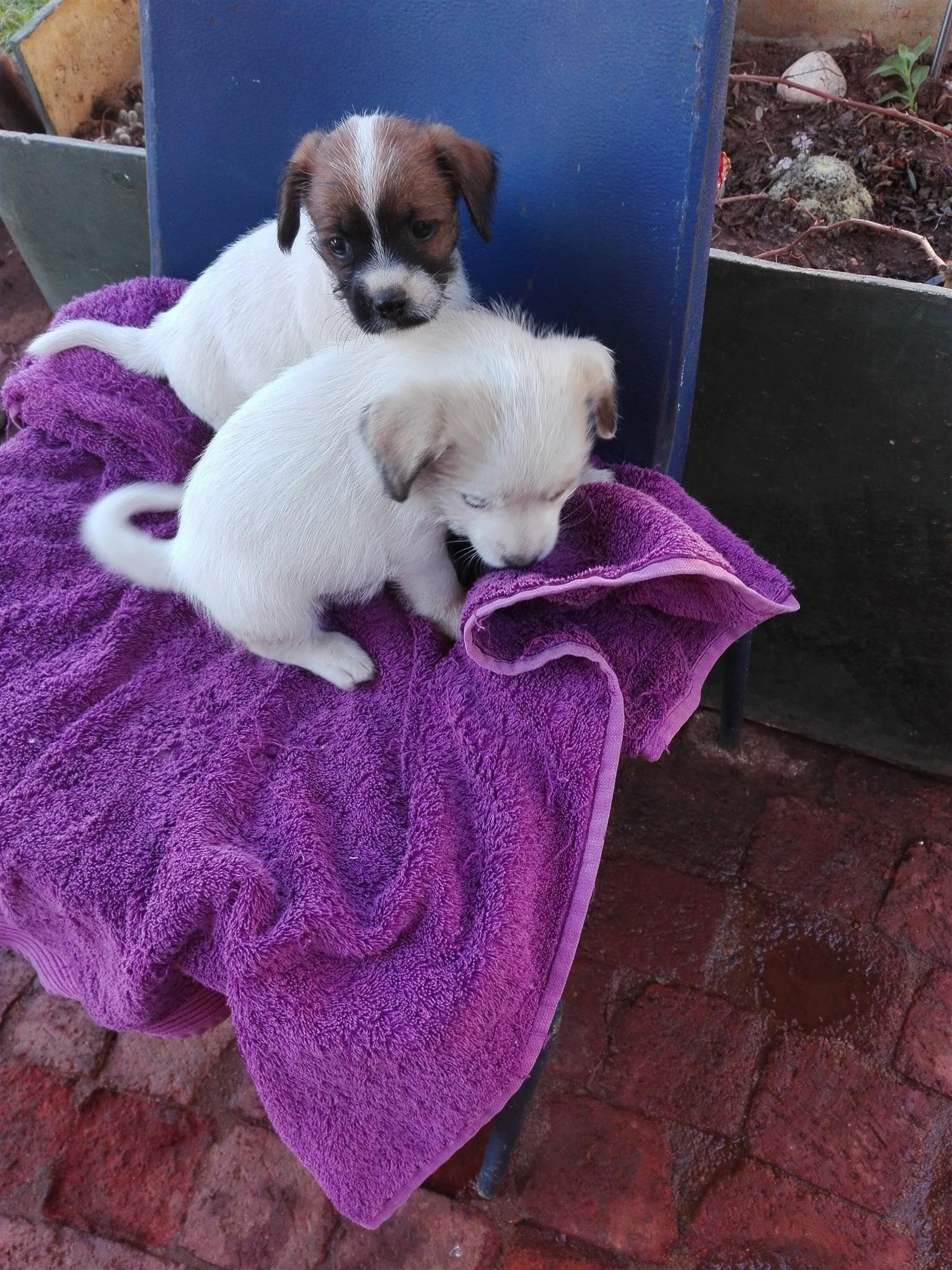 chinese crested powder puff puppies