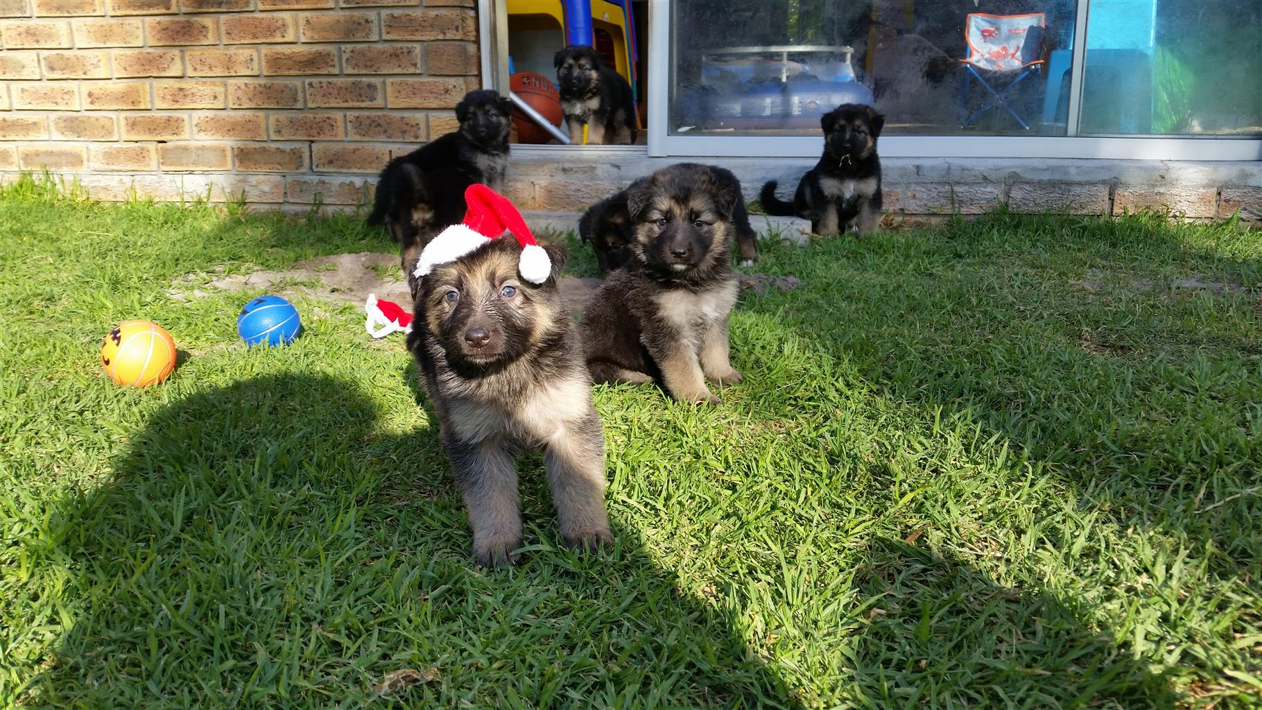 Thorough bred German Shepherd puppies - 8 wks old - medium to long haired