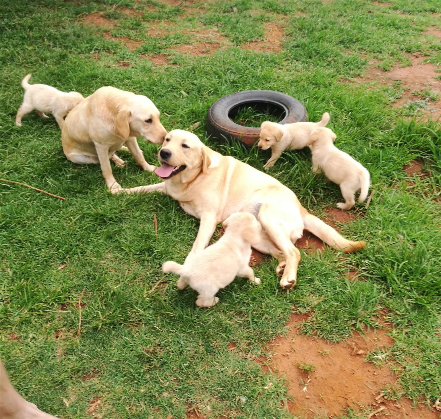 Gorgeous Purebred Labrador Pups