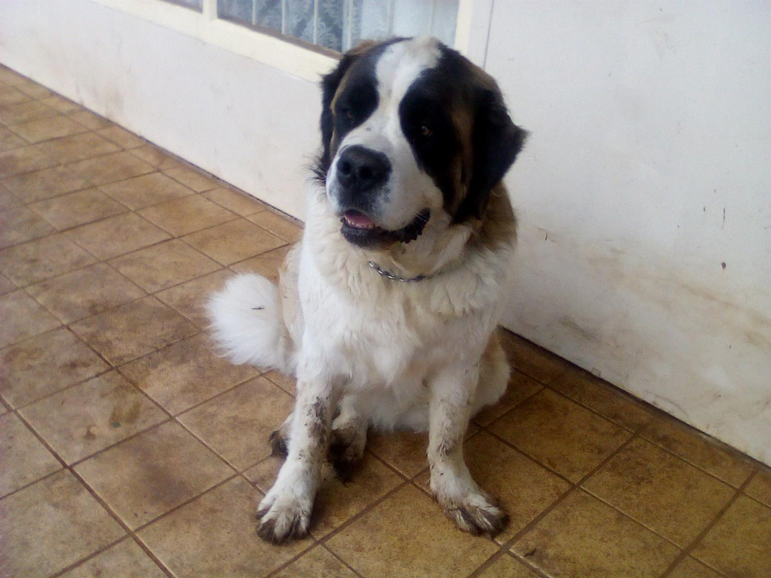 KUSA registered St. Bernard female
