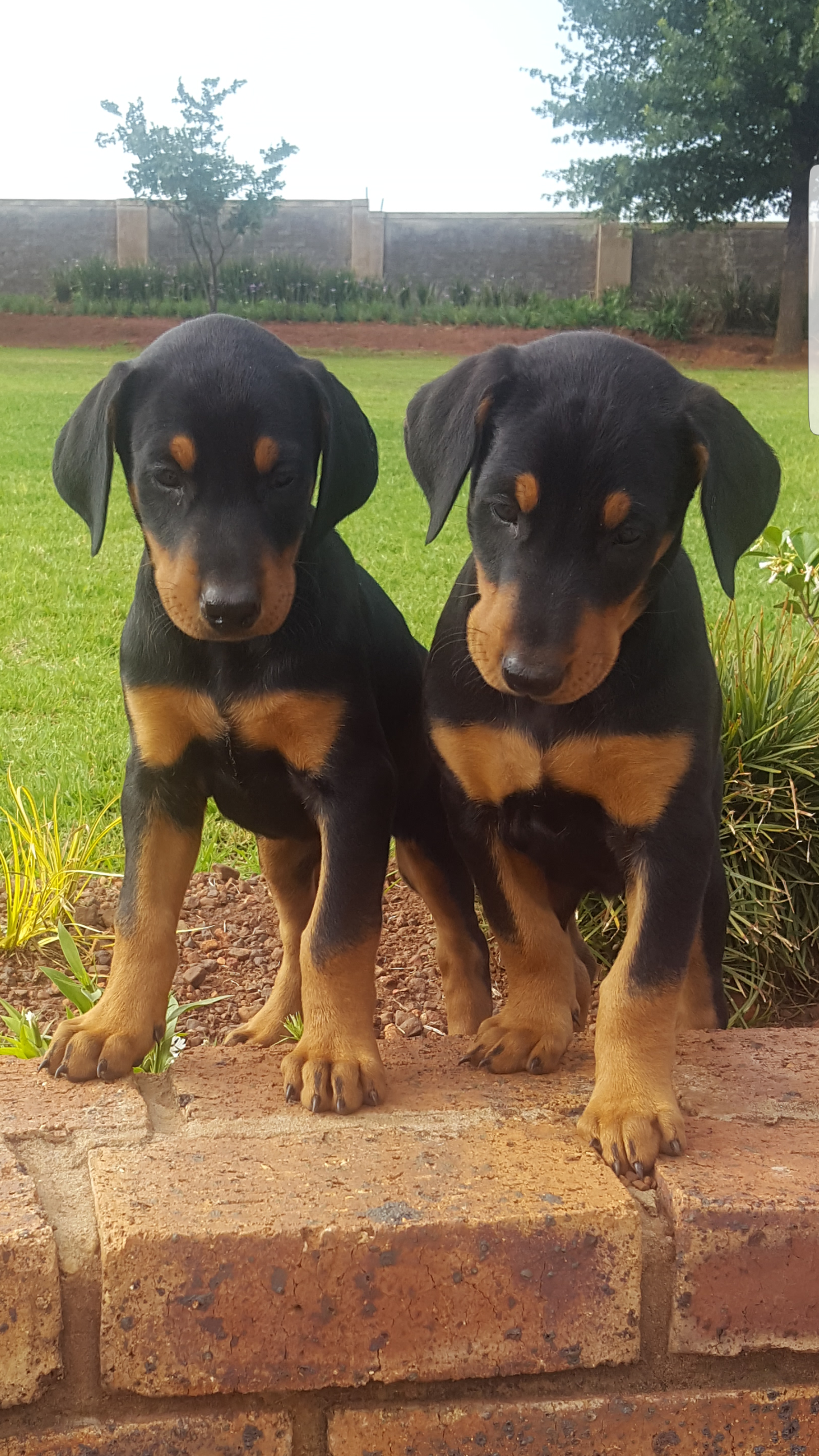 Doberman puppies large breed