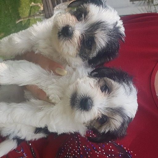 maltese mini puppies