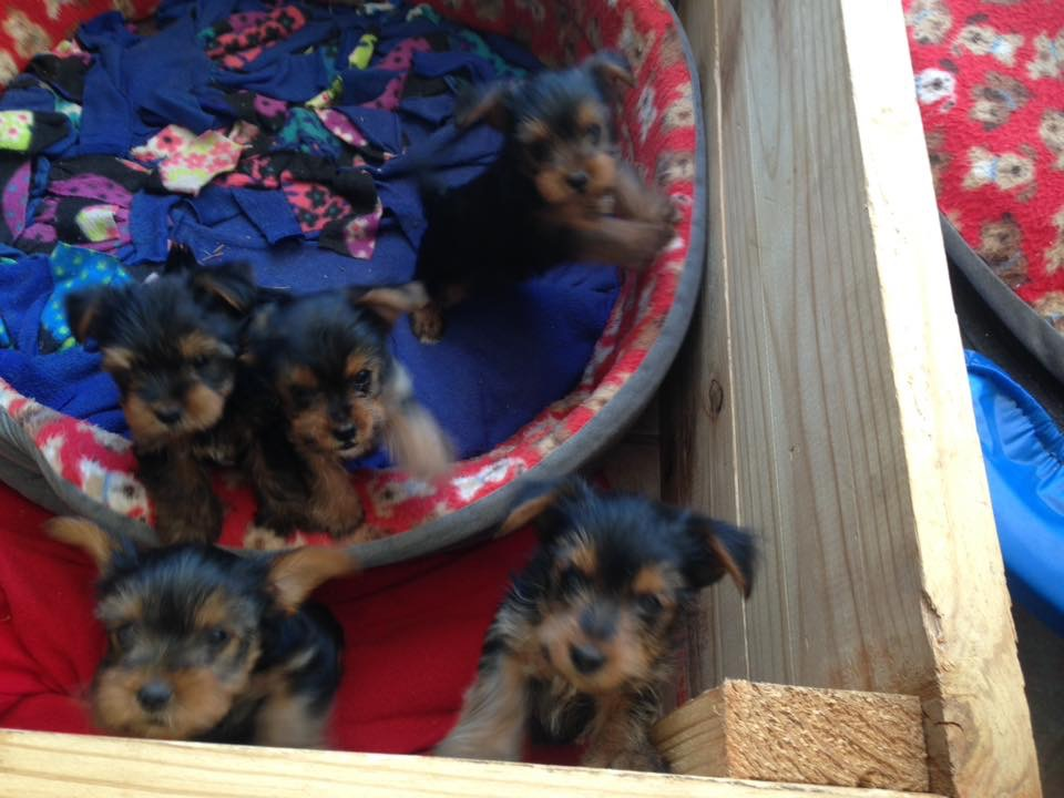 Yorkie puppies for sale | Junk Mail