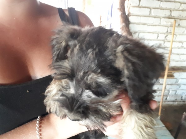 9 WEEKS OLD MALE MINIATURE SCHNAUZER FOR SALE! Stunning personality, very very cute, housetrained