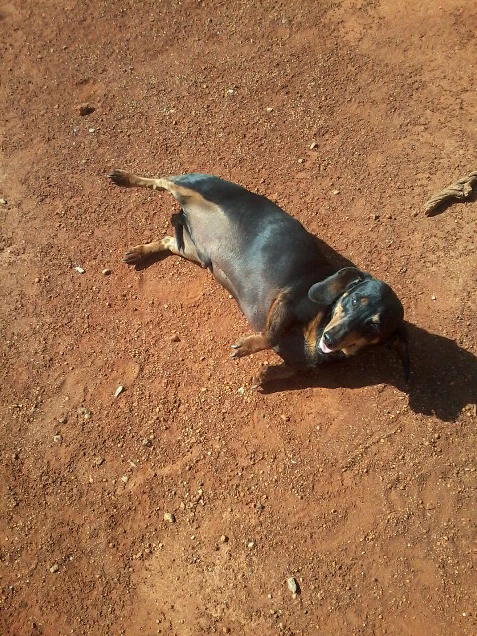 worshond mannetjie daschund male