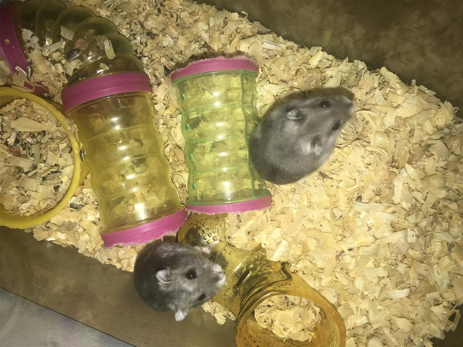 2 x hamster with cage and accessories