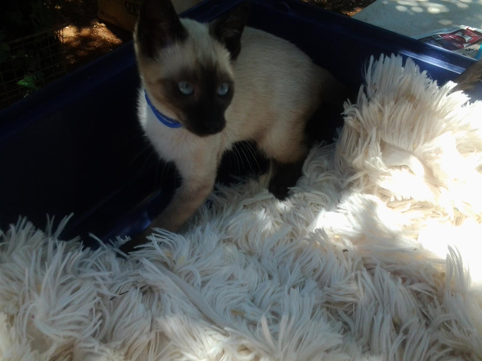Beautiful Seal point Siamese kittens