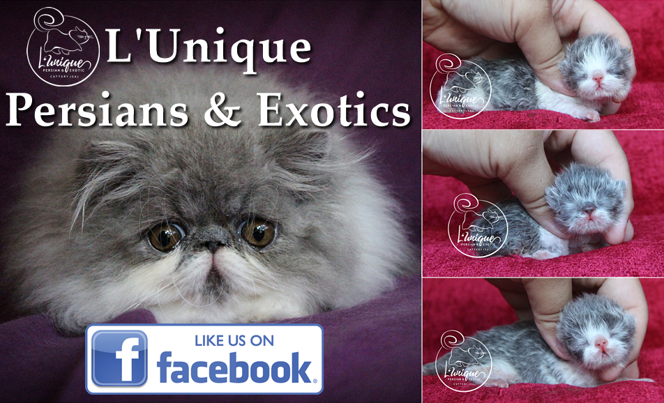 Blue Bicolour (Grey & White) Persian Boy For Sale