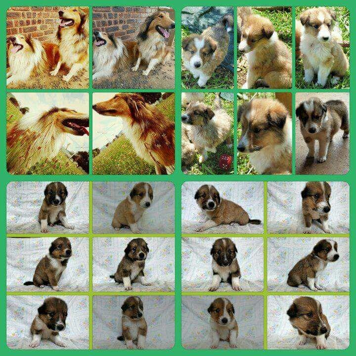 Rough Lassie Collie Puppies for sale