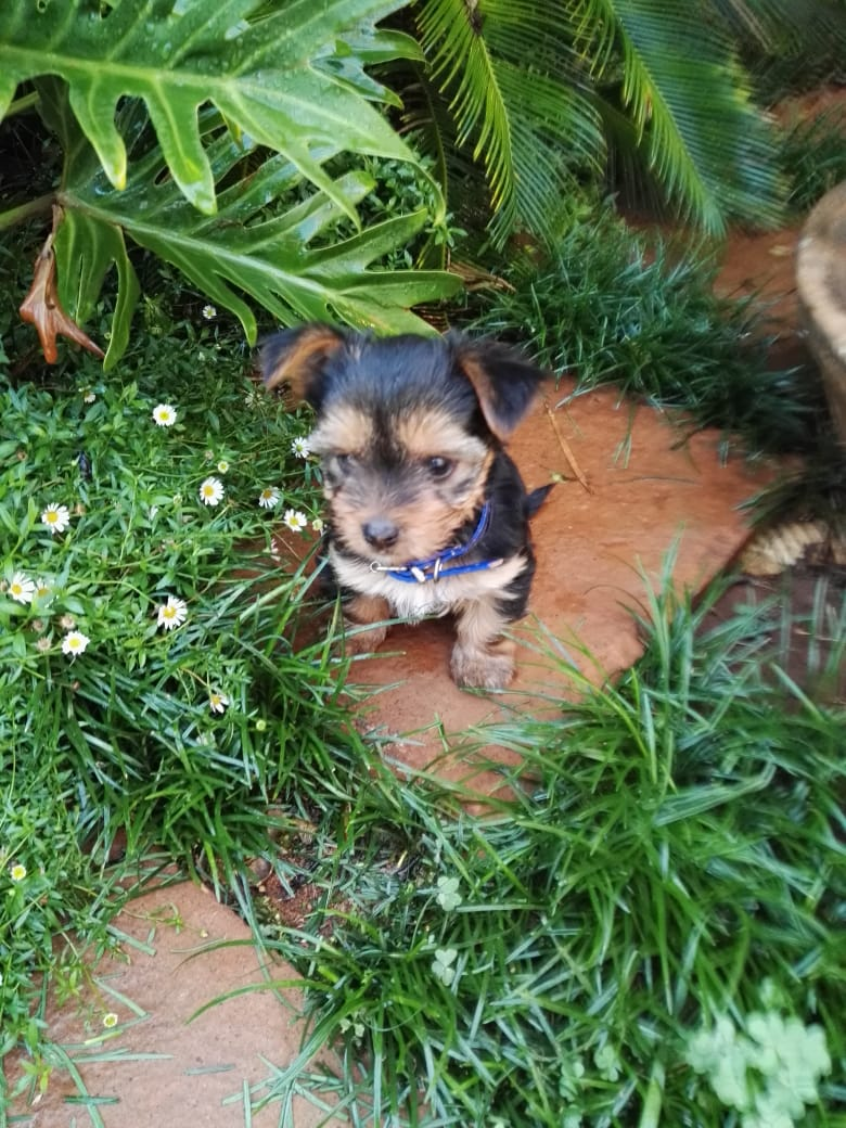 4 Yorkie Puppies (male) available!