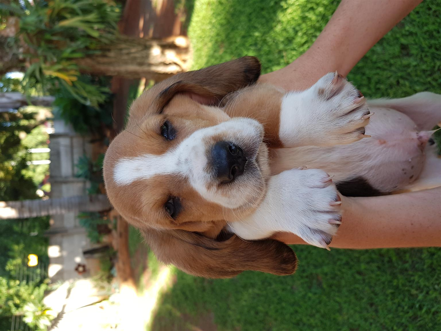 Basset pups for sale
